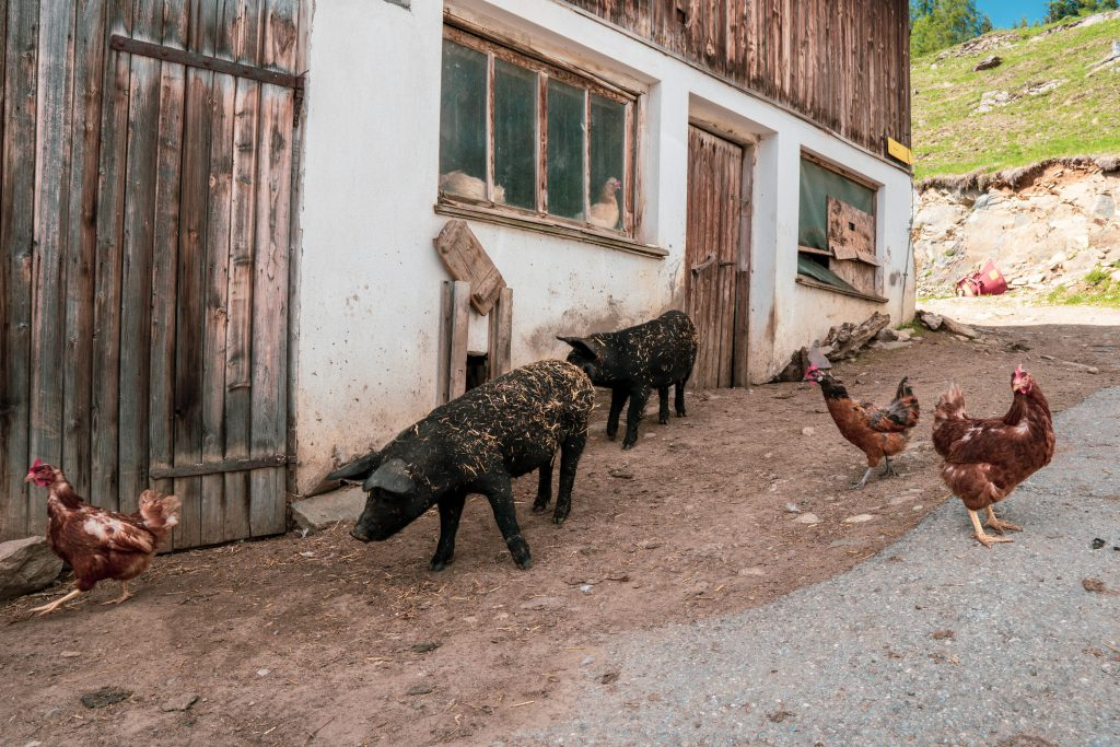 Schweine und Hühner am Bergbauernhof