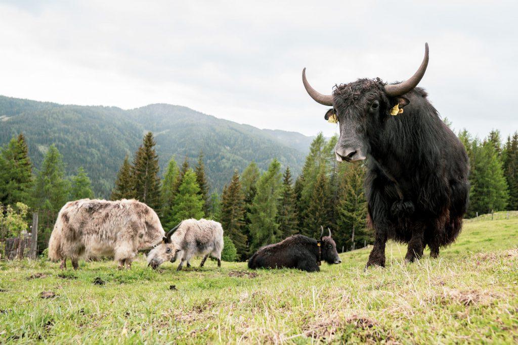 Yaks als Lösung für den Klimawandel am Bergbauernhof
