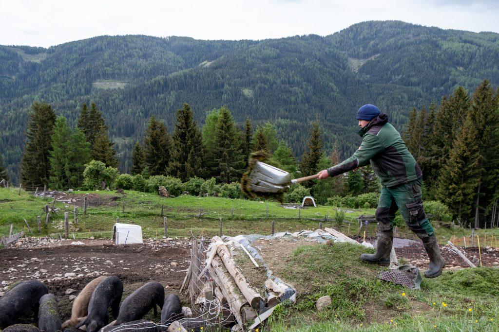Bergbauer Christian Bachler füttert Schweine